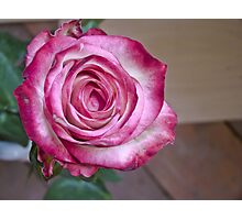 Pink White rose 7 Photographic Print