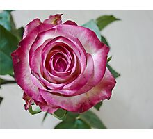 Pink White rose 8 Photographic Print