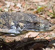 Goanna, Dorrigo National Park, NSW, Australia by Adrian Paul