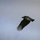 Turkey vulture in flight by miradorpictures