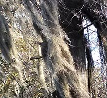 Spanish moss blowing in wind by Nadia Korths