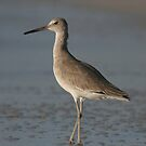 Common sandpiper by miradorpictures