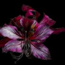 Fractal Orchids by Teresa Zieba