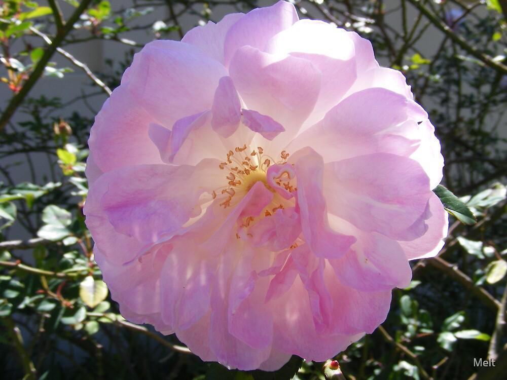 Rock Rose by Melt
