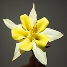 Yellow Aquilegia by Roachelle Playle