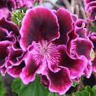 Regal Pelargonium by Roachelle Playle