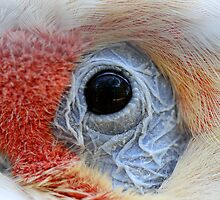 Long Billed Corella Macro by Steve Bullock