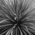 Agave in Black and White by EducatedSavage