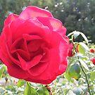 Capital Rose by NancyC