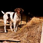 """Heidi""- German Shorthair Pointer   by PamelaJoPhoto"