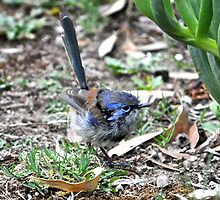 Immature male Variegated Fairy-wren by Ian Berry