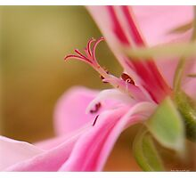pink closeup Photographic Print