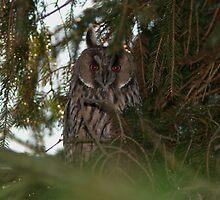 Long-eared Owl by Minne