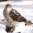Coopers Hawk by madmac57
