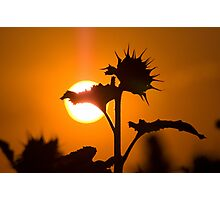 Back Lit Sunflower Photographic Print