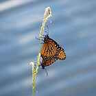 Monarchs Mating by Peg Burley