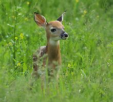 Whitetail Fawn by Megan Noble