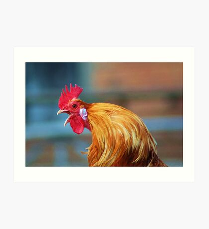The crowing cockerel Art Print