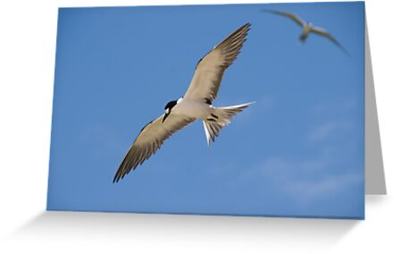 Sooty Tern by Erik Schlogl