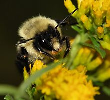 Bumble Bee by PamelaJoPhoto