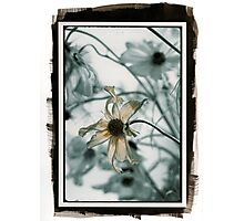 Cosmos (pig/pd)  Photographic Print