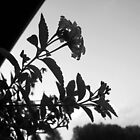 Lantana {black and white} by Jayca