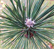 A Newly Formed Pine Cone by Gillwho