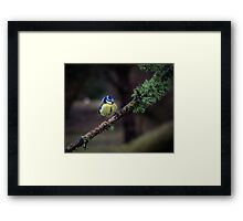 Blue tit on a branch Framed Print