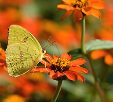 Cloudless Sulphur on Orange Zinnia by Bonnie T.  Barry