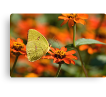 Cloudless Sulphur on Orange Zinnia Canvas Print
