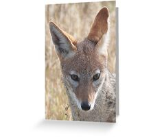 Black-Backed Jackal, Central Kalahari Game Reserve, Botswana, Africa Greeting Card