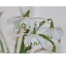 Double Snowdrops Photographic Print