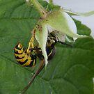 Wasp by Rachel Hoffman