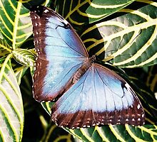 blue butterfly by stelfox1