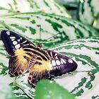 butterfly by stelfox1