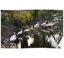 egrets on a pond Poster