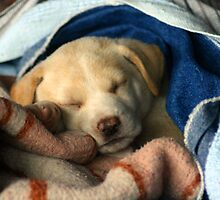 puppy in blanket by stelfox1