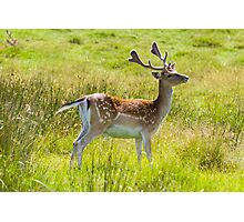 Alert Deer Photographic Print