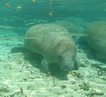 Manatees of Crystal River, Florida by Rich Synowiec