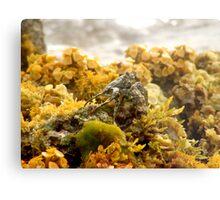 Land Crab - Bonaire Metal Print