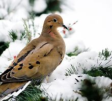 Holiday Dove by Christina Rollo