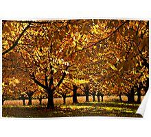 Autumn Cherry Poster