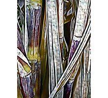 Raw Sugar Photographic Print