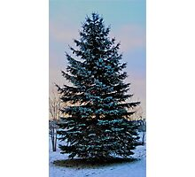 Frosted Spruce Photographic Print