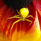 Yellow Crab Spider by Tracy Wazny