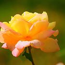 Yellow Rose by Jarede Schmetterer