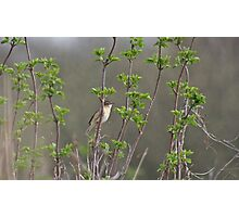 Sedge Warbler Photographic Print