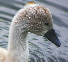 Signet Portrait...... by jdmphotography