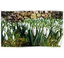 Snowdrops - Galanthus Poster