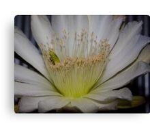 Cactus flower up close Canvas Print